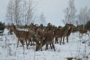 Ківерцівські лісівники та школярі підгодовують зубрів та плямистих оленів