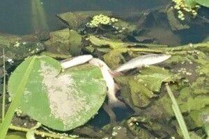 В Чорногузці біля Луцька здихає риба