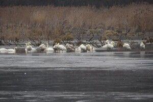 На річці Путилівці зимує 40 лебедів