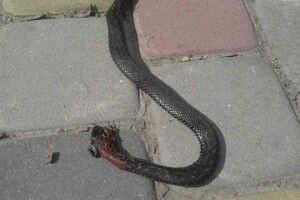 На Волині зафіксовано два випадки укусів змій