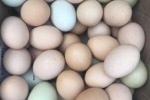 Кури волинянки несуть кольорові яйця (Фото)