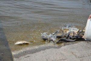 У ковельське водосховище випустили 1200 кілограмів риби