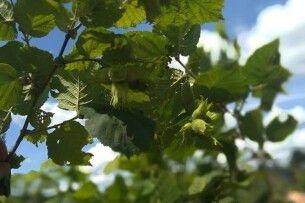 У Нацпарку «Прип'ять-Стохід» цьогоріч збиратимуть перший врожай фундука (фото)
