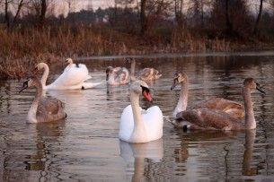 Мороз наступає, але десяток ківерцівських лебедів продовжують триматися на Молодіжному! (фото)