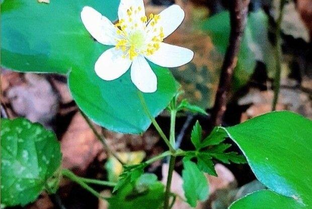 У осінньому волинському лісі розцвіли... первоцвіти  (Фото)