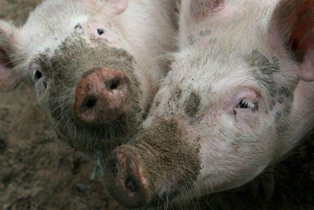 На Львівщині зафіксовано спалах африканської чуми свиней