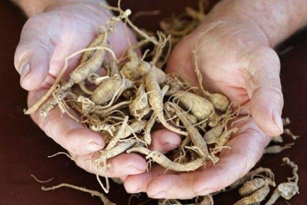 Напровесні накопайте коренів лопуха, пирію і кульбаби