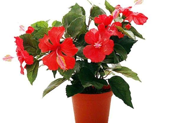 Є насвіті незвичайна троянда…
