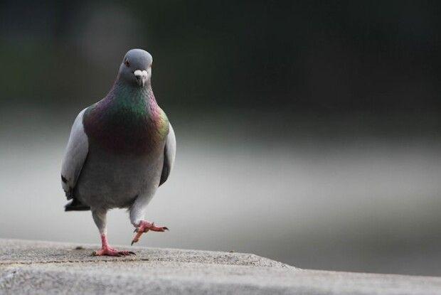 Науковці дійшли висновку, що міських голубів робить інвалідами... людське волосся