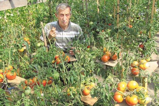 Ратнівчанин власними силами  проводить селекцію помідорів і збирає тонни врожаю