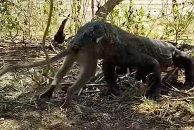 З'явилося відео, як варан проковтув живу мавпу