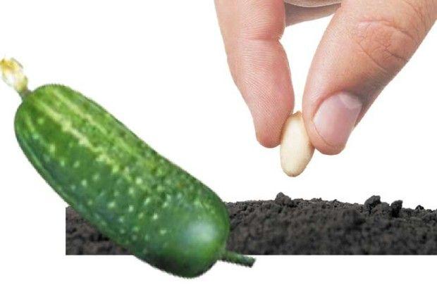 Підготовка насіння огірків допосіву