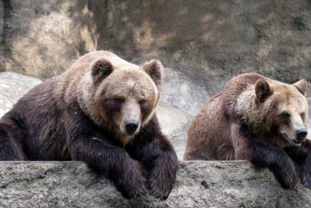 На Чернігівщині півдюжини ведмедів страждають від зимового безсоння