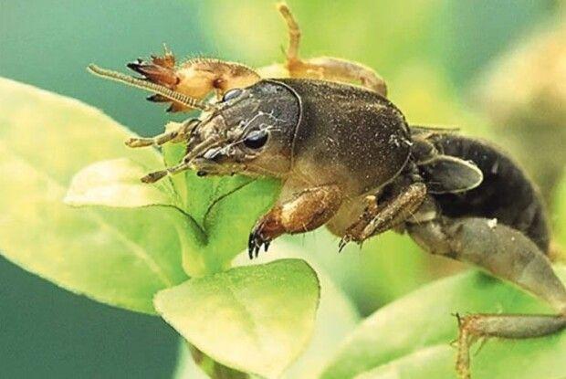 Страшна отрута  для капустянки