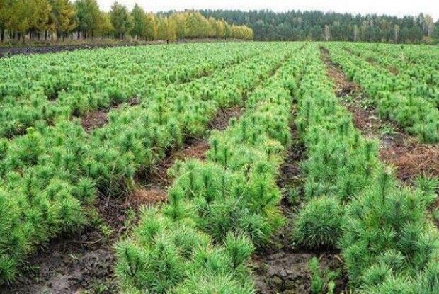 Більше сіянців  – розкішніші ліси: на Рівненщині перевиконали план
