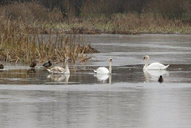 В ополонці на Молодіжному в Ківерцях плаває вісім лебедів-шипунів (фото)