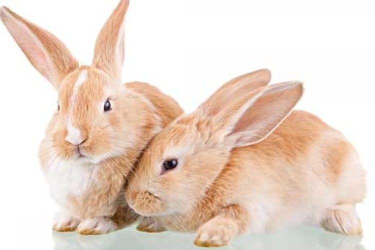 Як підготувати кролиць до окролу?