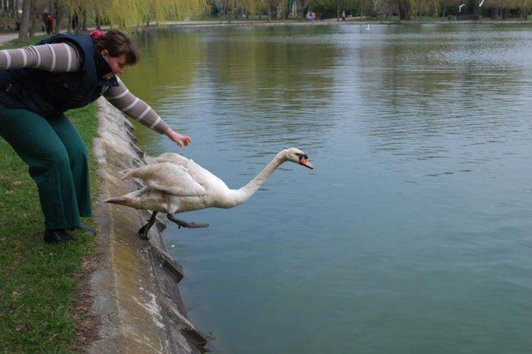 У Рівному настала справжня весна – на озері в парку Молоді з'явилися лебеді (фото)