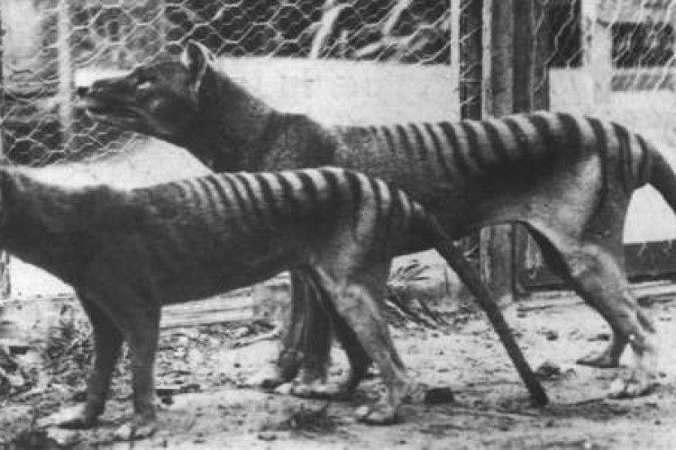 В Автралії бачили тасманійського вовка – якого вважали вимерлим понад 80 років