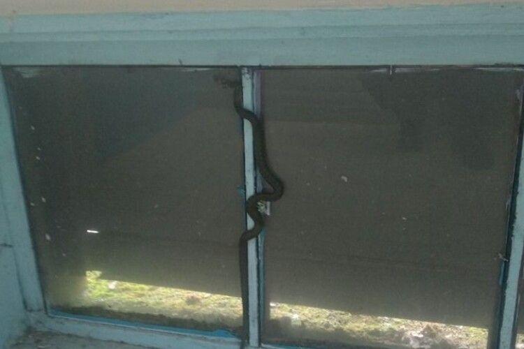 У Сарнах невеличкий вуж налякав мешканців цілої п'ятиповерхівки (фото)