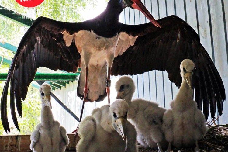 У Київському зоопарку з'явилися на світ четверо рідкісних чорних лелечат (фото)