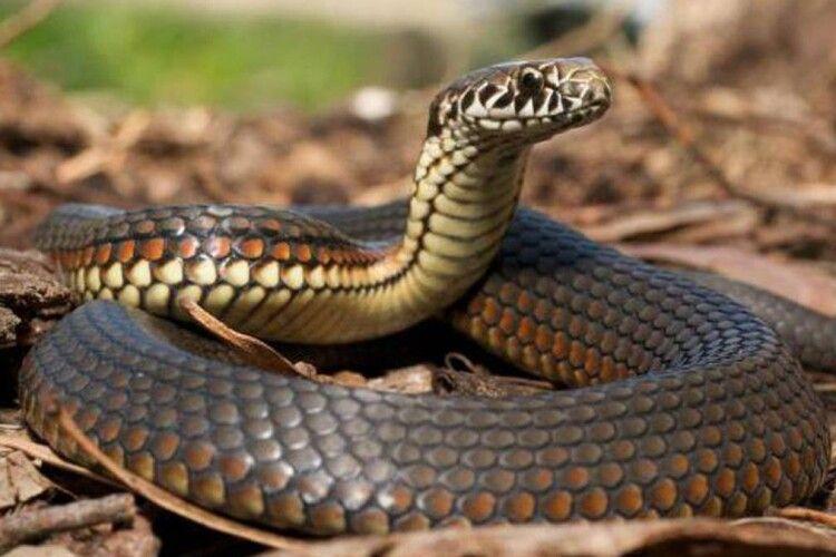 Волинянин, якого вкусила змія, забрав її собі у… кишеню
