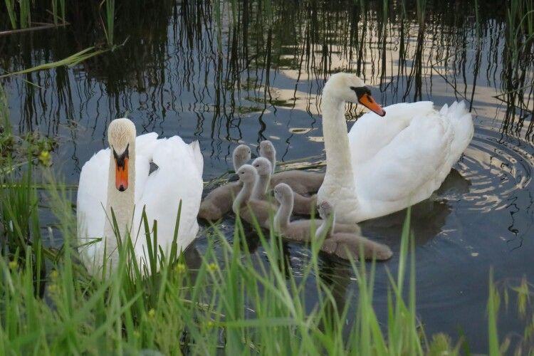 Фотомисливиця клацнула лебедину сім'ю, в якій з'явилося пів дюжини пташенят-лебедят (Фото)