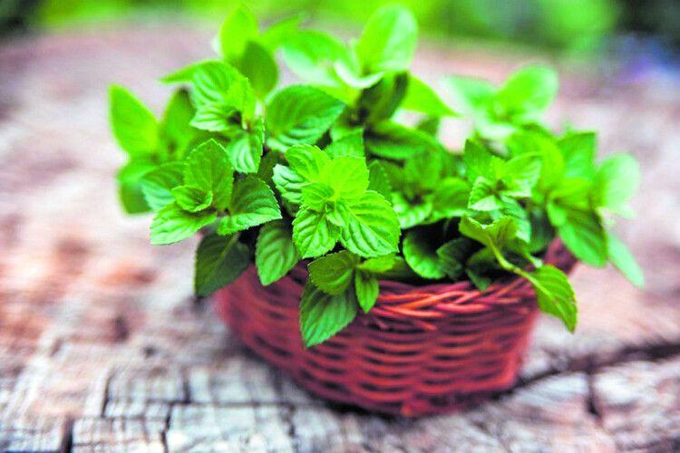 «Запахла весна м'ятою...». Кулінарні секрети
