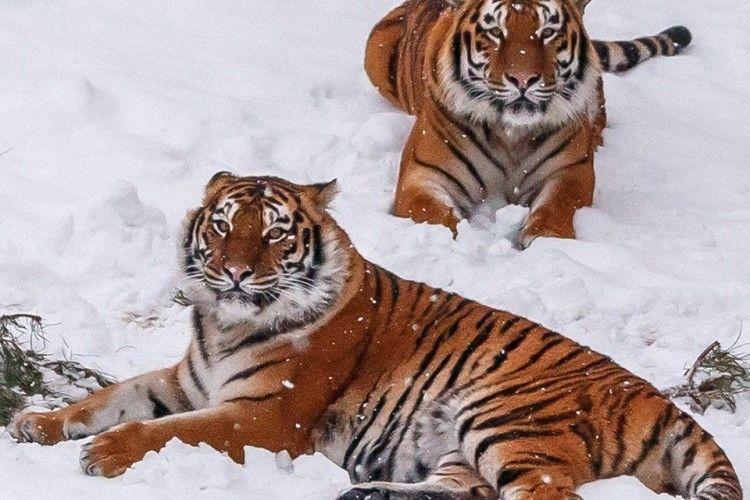 Тигри Луцького зоопарку щодня наминають по 7-12 кг м'яса та риби