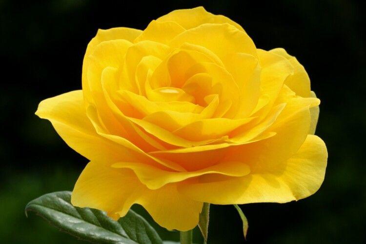 Перед Новим роком у Рівному розцвіла троянда. Еколог має пояснення (Відео)