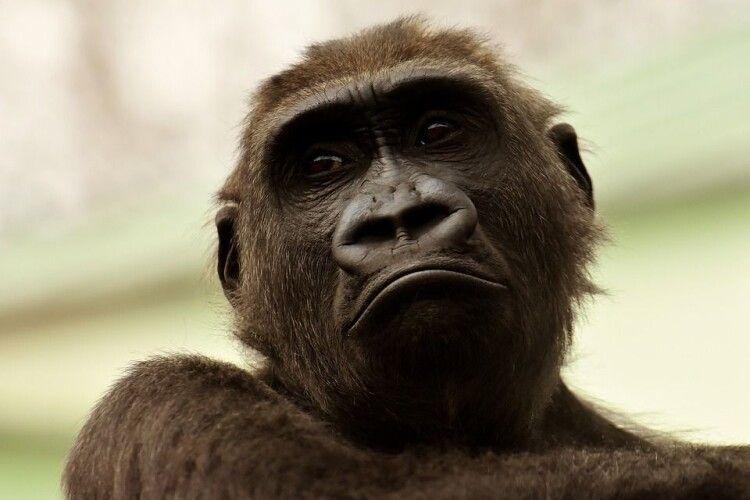 Мавпа-алкоголік вбила людину