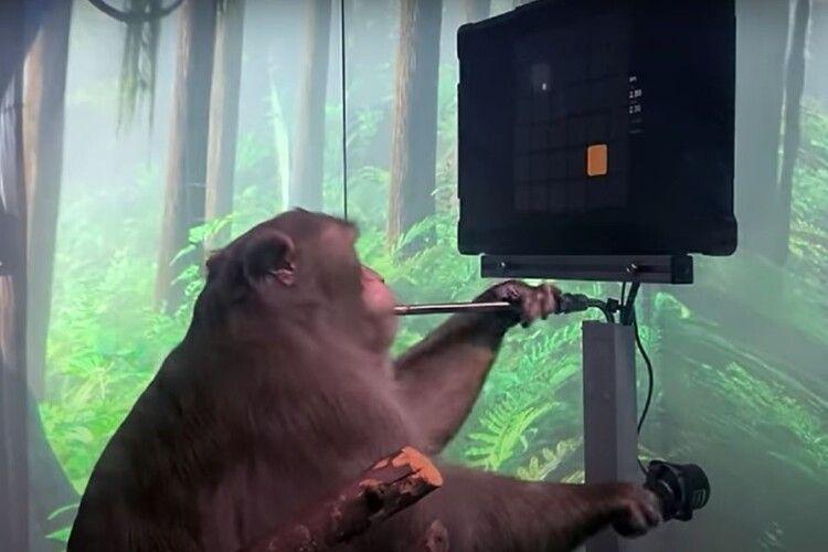 Мавпу навчили грати відеоігри (Відео)
