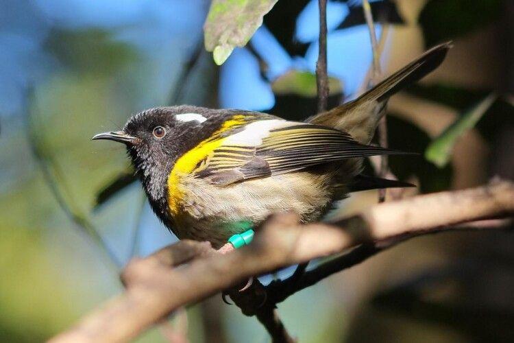 Медососа хіхі визнали пташиним секс-символом: самці цього виду мають гігантські геніталії