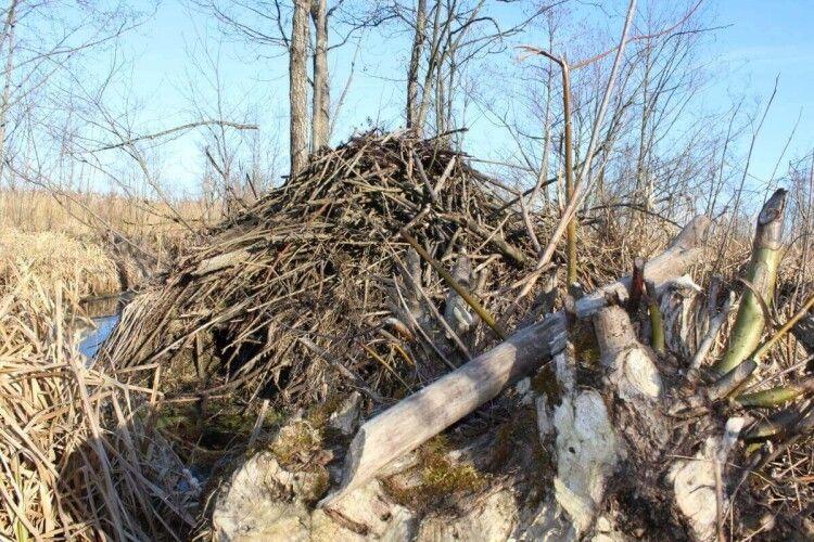 На Поліссі бобри підібрались до сіл – гризуть дерева і будують хатки (Фото)