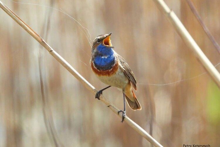 На Рівненщині фотомисливець вполював синьошийку