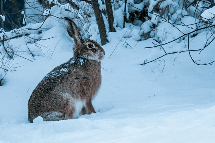 На Рівненщині зайці вже по дахах бігають (Відео)