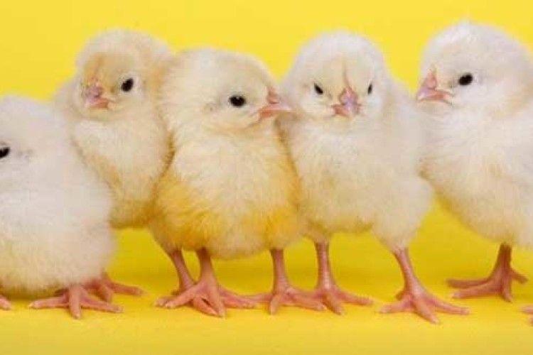 Найпоширеніші хвороби курчат