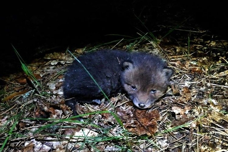 Глупої ночі на Чортовому болоті Цуманської пущі бачили не то вовченя, не то лисеня (ФОТО)