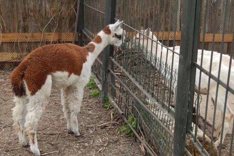 До самця у Луцькому зоопарку приїхала самка (Фото)