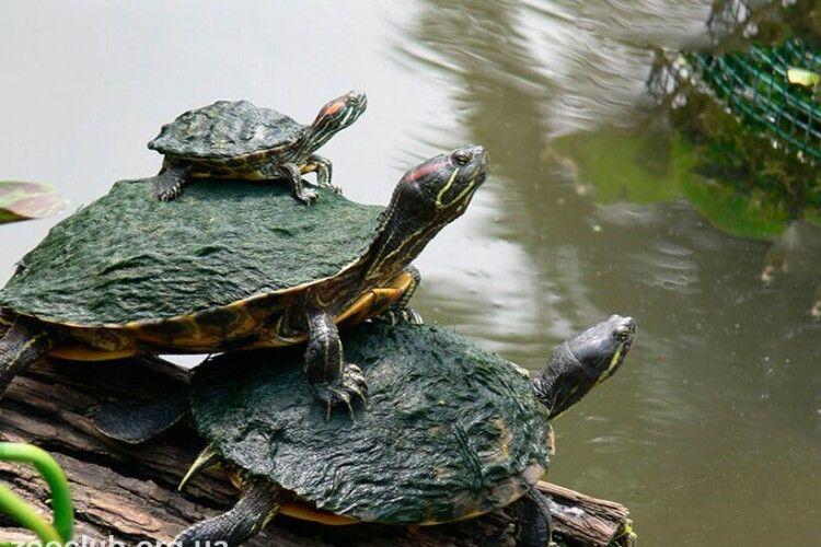 Волинян закликали берегти природу Полісся від червоновухих черепах (Фото)