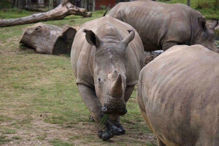 У Франції браконьєри вбили... носорога у зоопарку (фото)