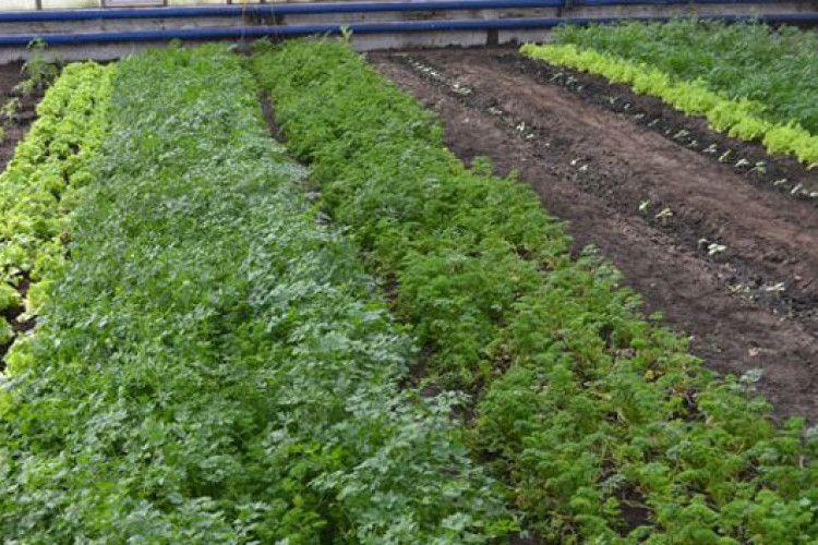 Маневицький лісгосп забезпечує зеленню усі місцеві кафе та ресторани