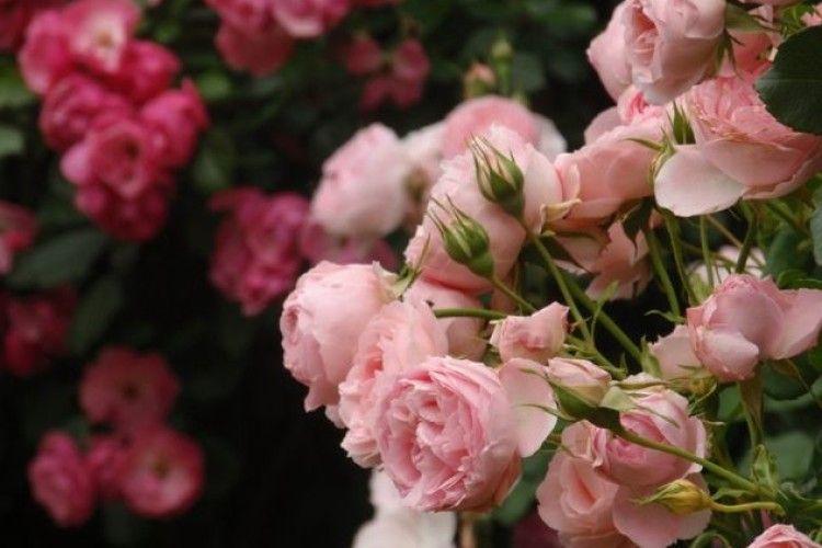 У Луцьку з'явиться алея троянд