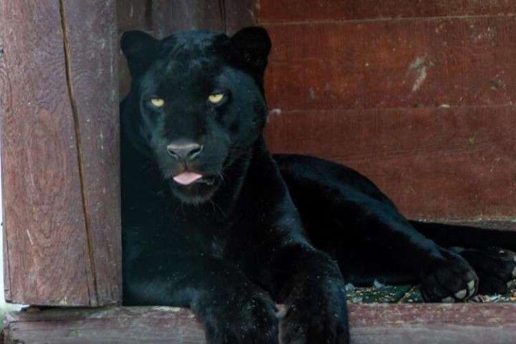 Українця покусала пантера: чоловік у важкому стані