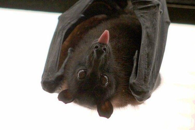 Коронавірус у кажанів існував десятиліттями – дослідження