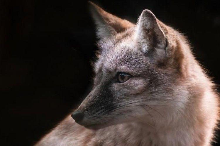 Домашня лисиця з Ірпеня стала зіркою соцмереж