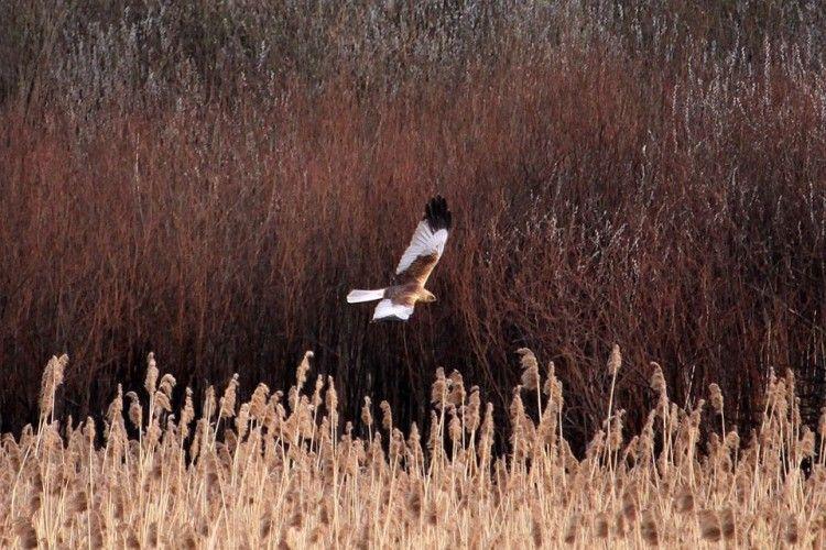 Очеретяний лунь-волинянин вже повернувся з Африки і ширяє над Цуманською пущею (фото)