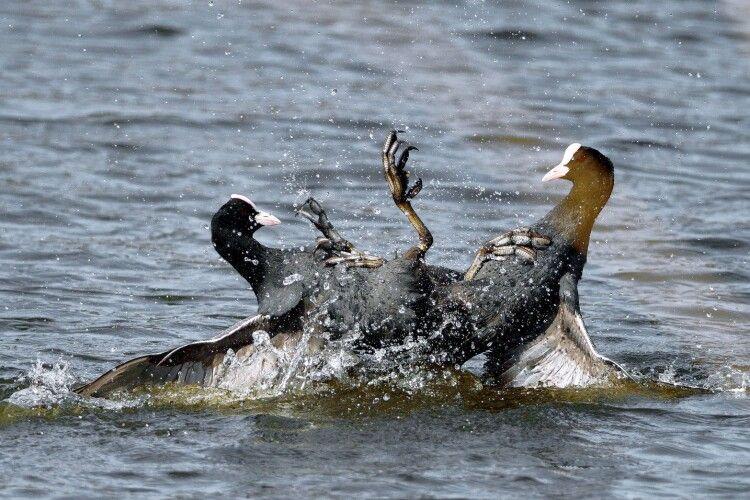 Фотомисливець зазнімкував пекельний бій водоплавних гладіаторів (Фото)