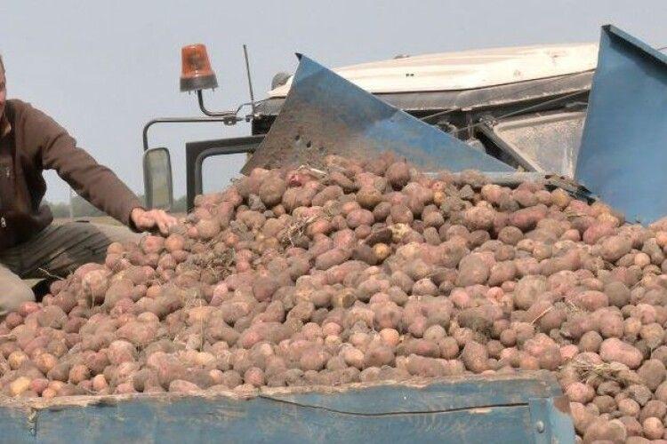 Волиняни збирають урожай овочів: як вродили і скільки коштують (Фото)