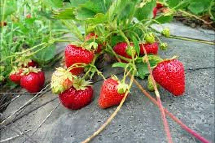 Збирають ягоди з травня до листопада: на Волині родина вирощує пізні сорити полуниці